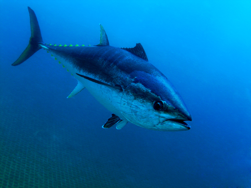 Change management feed mayonnaise to the tuna fish for Tuna fishing video